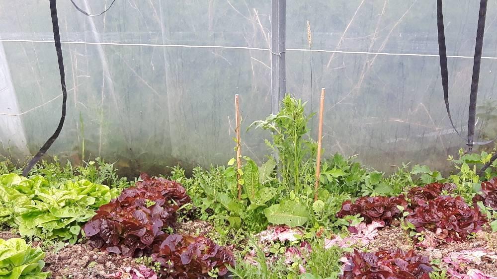AgroEcologieSousSerre_01