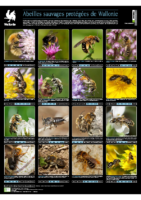 ABEILLES poster-abeilles-protegees-wallonie