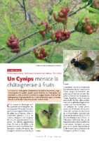 Le cynips du chataigner