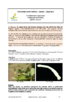 Agrilus_sinuatus_Bupreste-Poirier